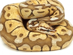 pastel butter woma
