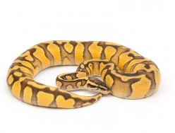 Super Pastel Yellow Belly Enchi