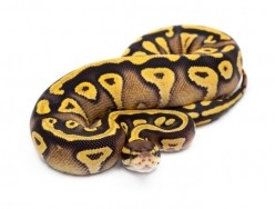 Pastel Mojave Yellow Belly